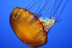 Jelly_Monterey